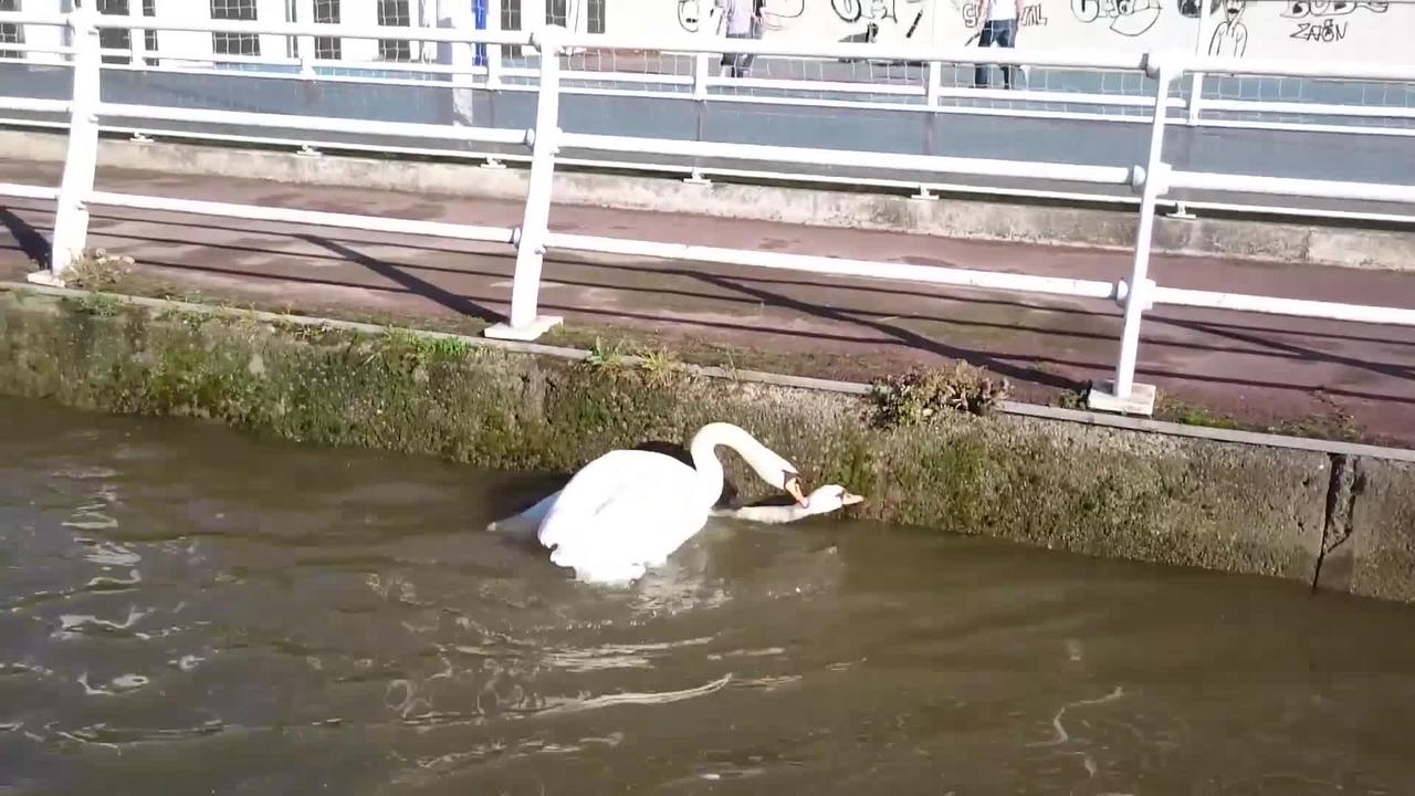 Violent fight of swans on the Seine river